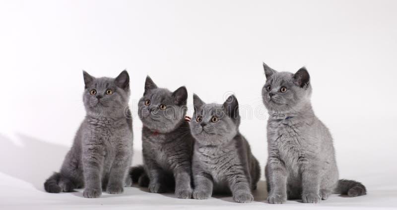 Britische Shorthair Kätzchen stockfotos