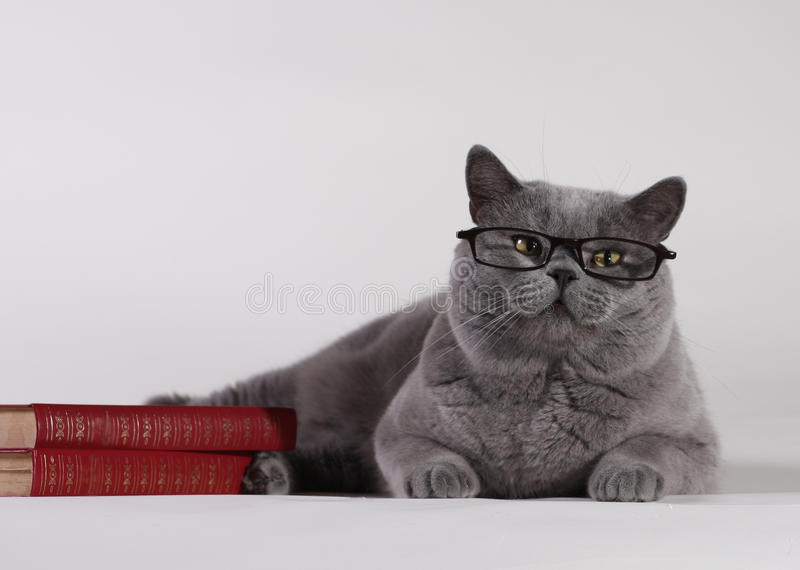 Britische Shorthair Katze mit Büchern lizenzfreie stockfotografie