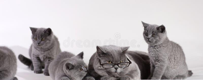 Britische Shorthair Katze mit Kätzchen lizenzfreies stockfoto