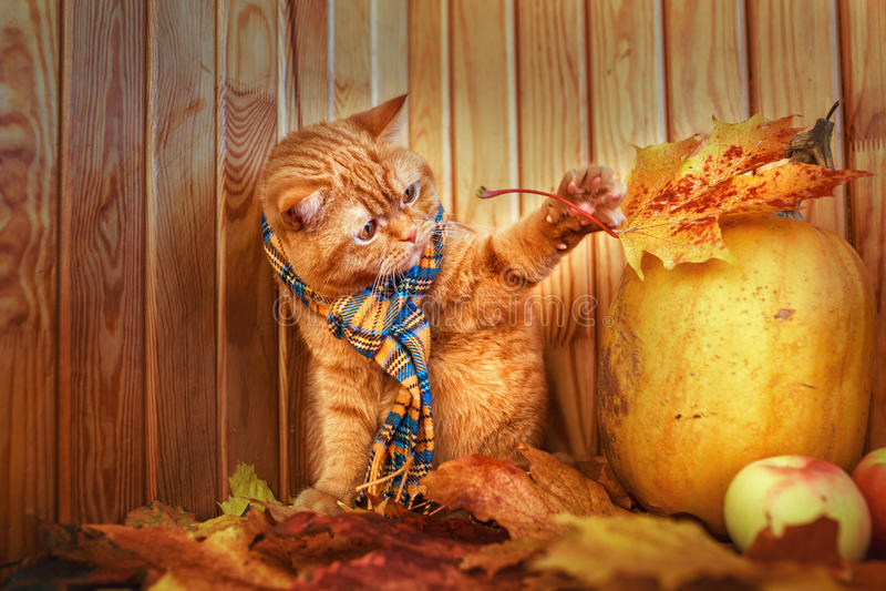 Britische Shorthair Katze Rote Katze in einem blauen Schal mit dem Fallherbstlaub, der auf hölzernem Hintergrund sitzt Die britis lizenzfreies stockbild