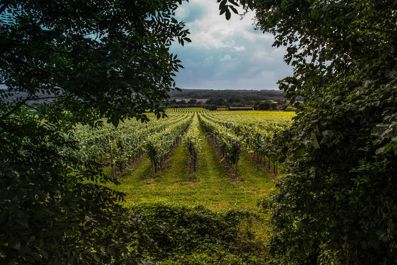 Britische Weinberge Surrey - Kent lizenzfreies stockfoto