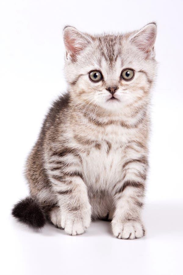 Britisches Kätzchen der getigerten Katze stockbilder