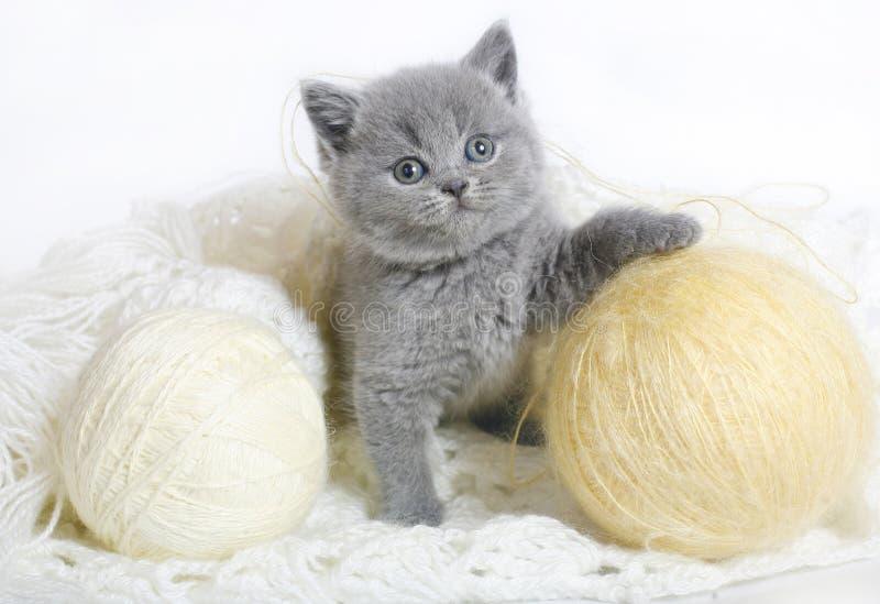 Britisches Kätzchen mit dem Stricken.