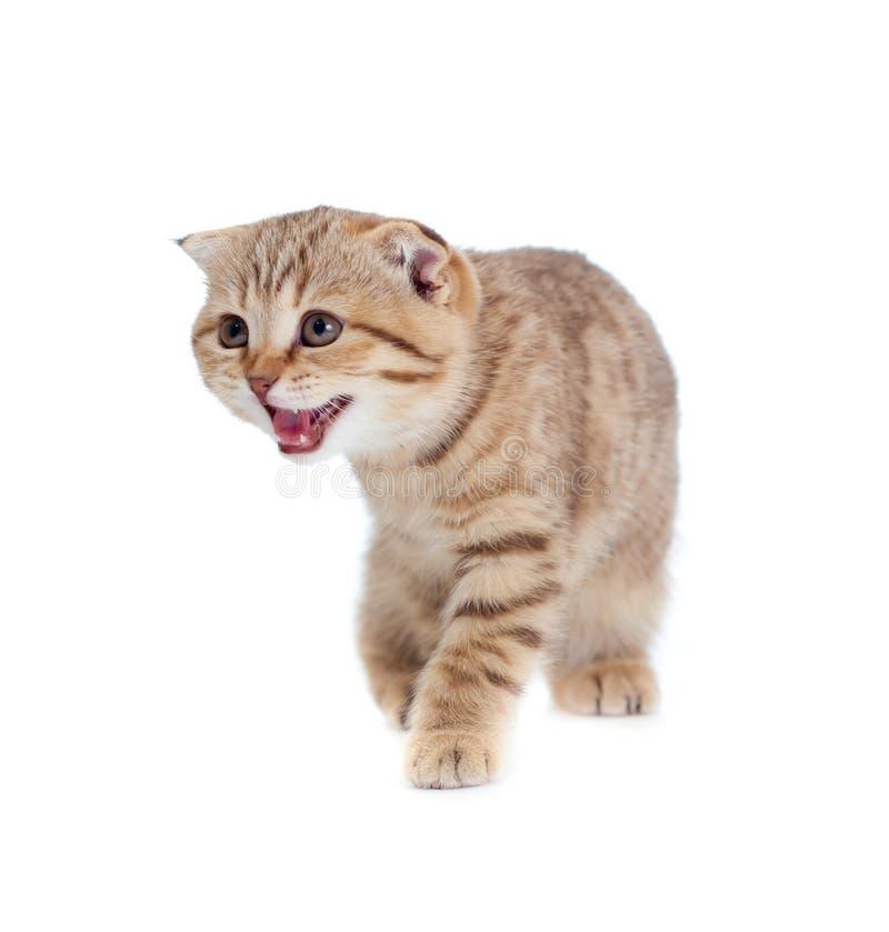 Britisches kleines Kätzchen des Tabby getrennt lizenzfreies stockbild