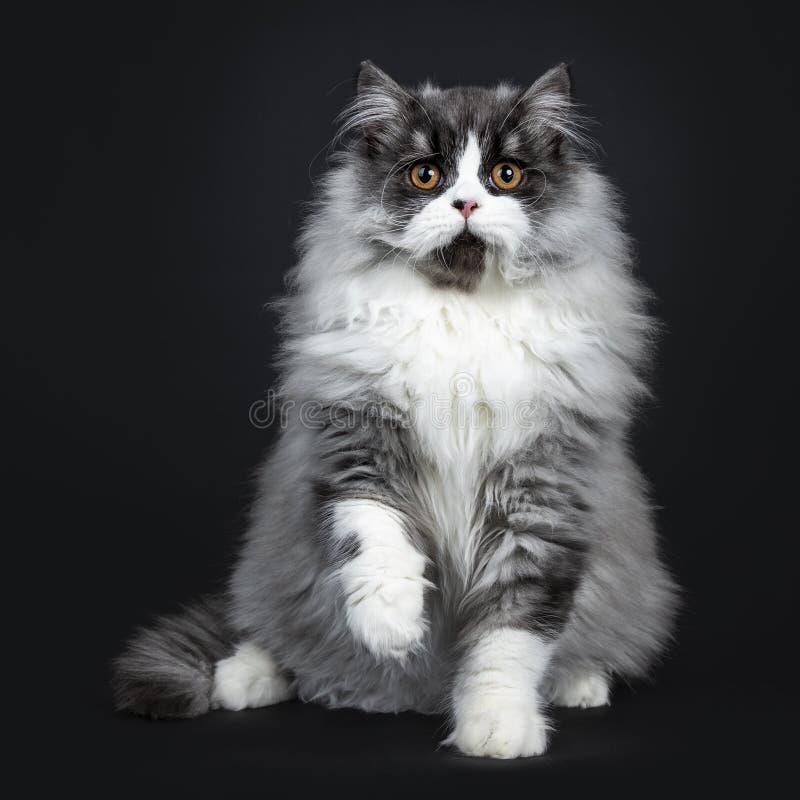 Britisches langhaariges Katzenkätzchen des majestätischen schwarzen Rauches, lokalisiert auf schwarzem Hintergrund stockfotografie