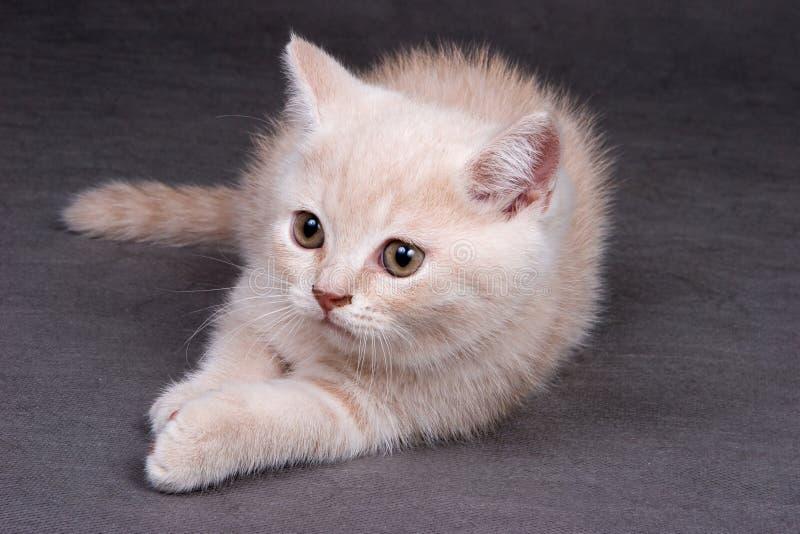 Britisches shorthair Kätzchen lizenzfreie stockbilder