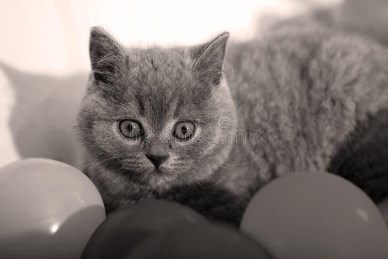 Britisches Shorthair Kätzchen lizenzfreies stockbild