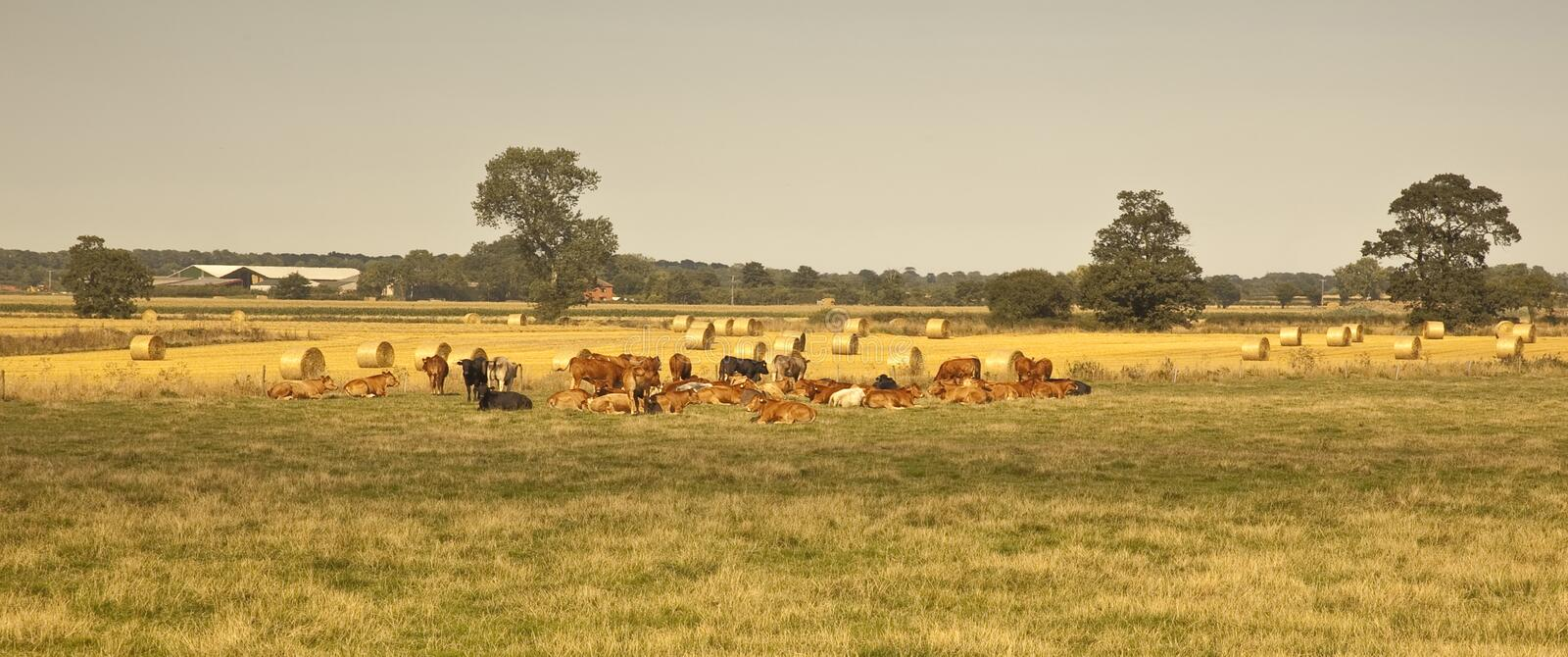 British Agriculture. A peaceful scene on farmland in Lincolnshire,as a herd of beef cattle rest on pasture land.Straw bales from the recent cereal harvest wait royalty free stock image