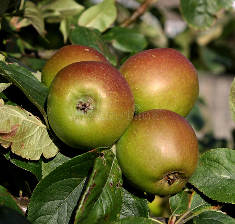 British apples royalty free stock photos