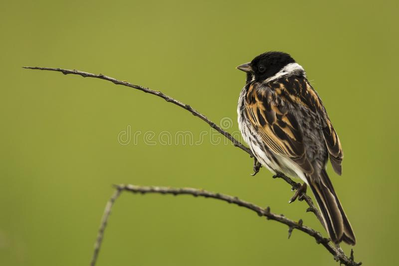 British bird Reed Bunting with a green background stock images