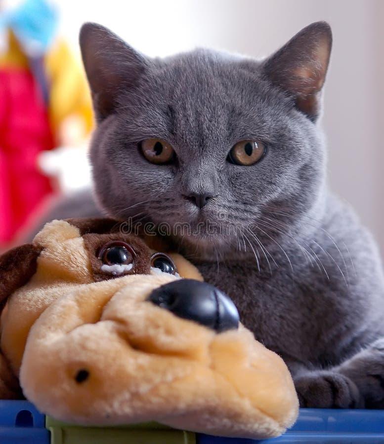 Free British Blue Cat Stock Images - 1567404