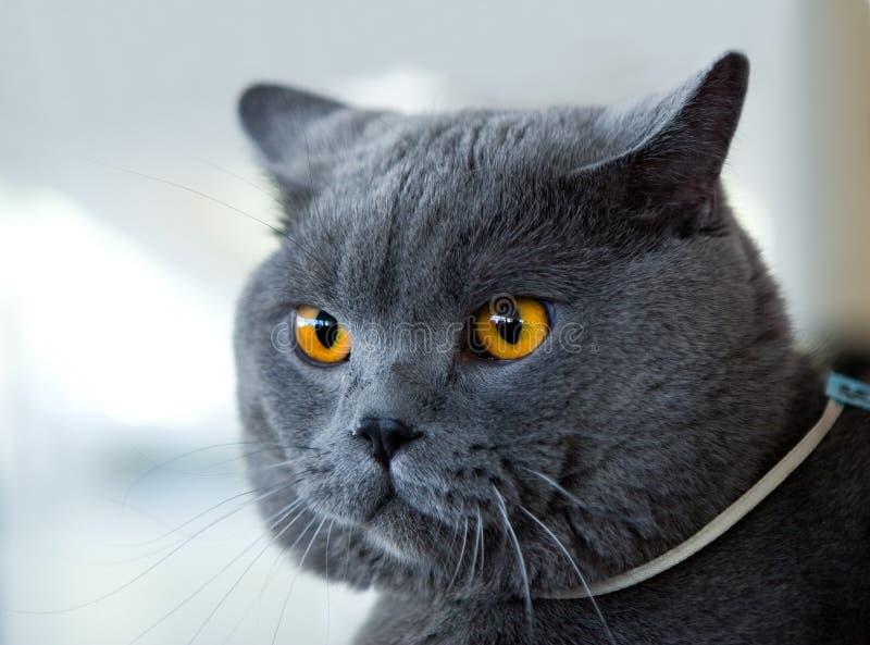 British blue cat at cat's show stock photos
