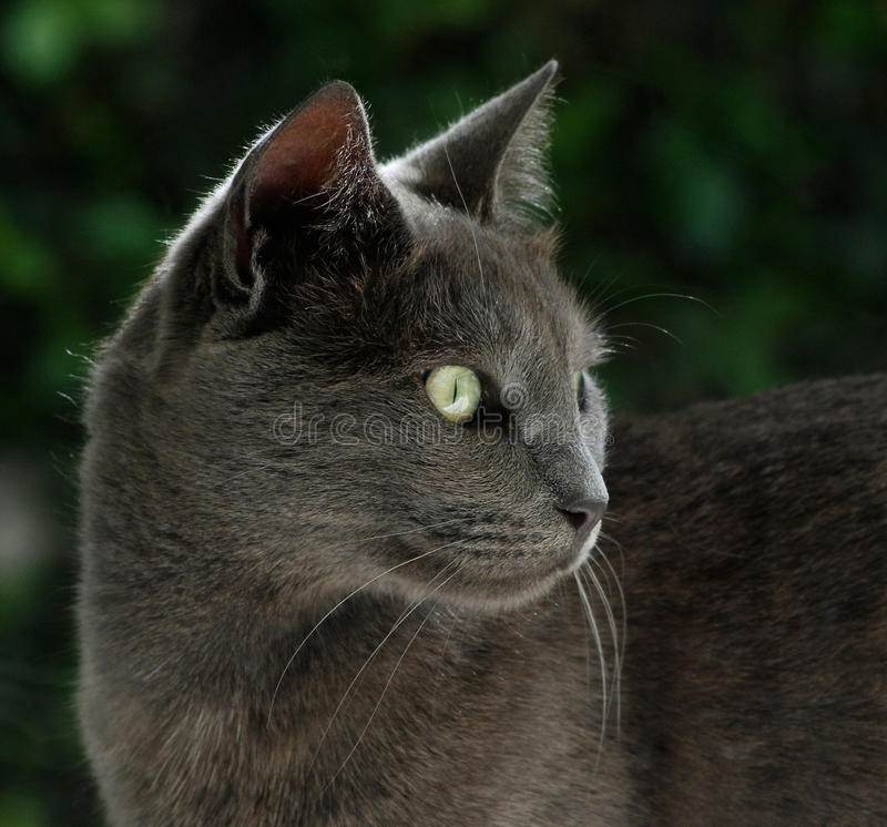 Free British Blue Cat Is Looking For Food Royalty Free Stock Images - 65404199