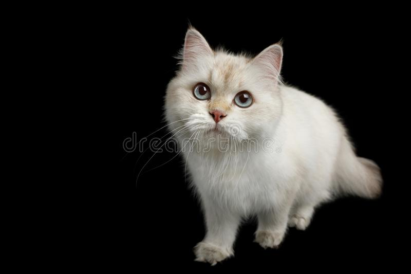 Adorable British Cat with Blue eyes on Isolated Black Background. British breed Cat, Color-point fur and Blue eyes Walking, Looking up, on Isolated Black stock images
