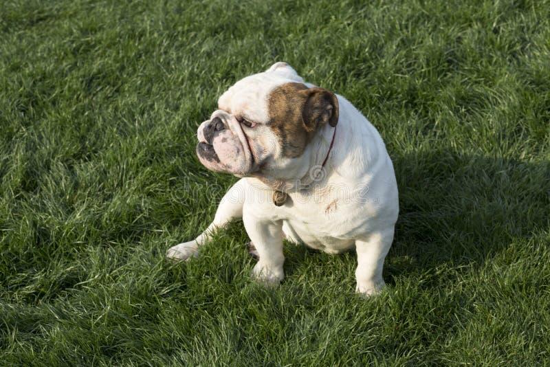 British Bulldog. The bulldog English: Bulldog, also known as the tiger dog, the bulldog, the British bulldog, is a breed of dog derived from the British. The stock photography