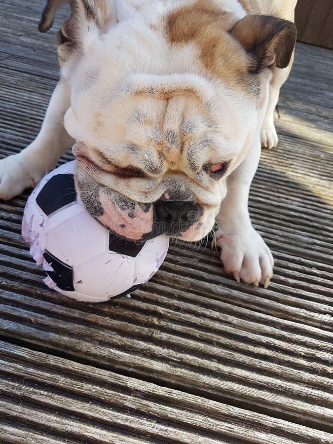 Cool Bulldog Ball Adorable Dog - british-bulldog-chewing-football-brown-white-small-99353012  Trends_70246  .jpg
