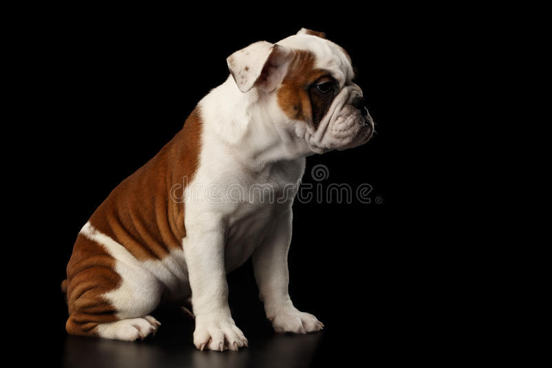 British bulldog puppy breed on isolated black background. Puppy british bulldog breed, white and red color, Sitting on isolated black background, side view royalty free stock photo