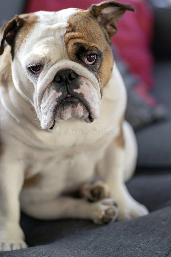 British Bulldog puppy sitting and watching stock photography