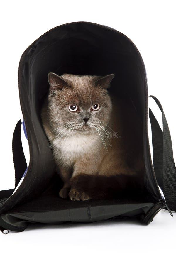 Download British cat stock image. Image of portrait, purebred - 14443535