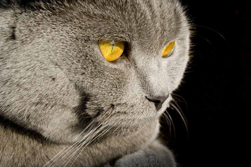 British cat. Face with nice eyes stock photography