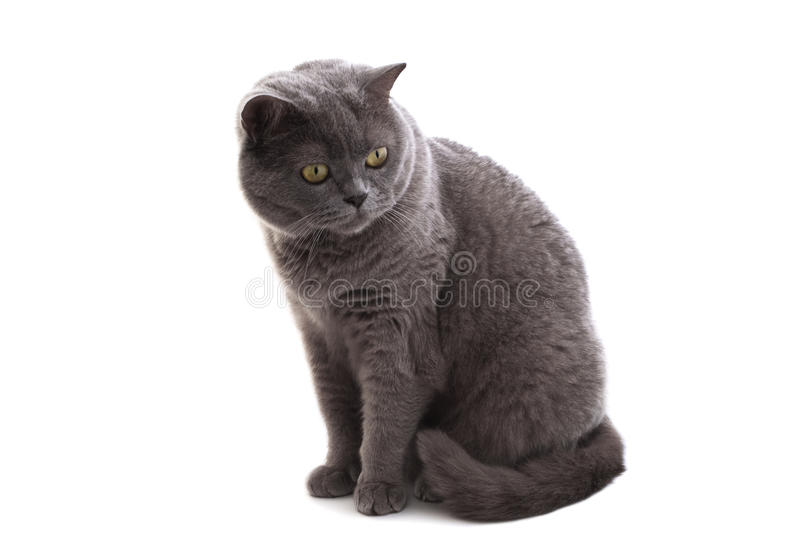 Download British cat. stock image. Image of thoroughbred, fauna - 16432637