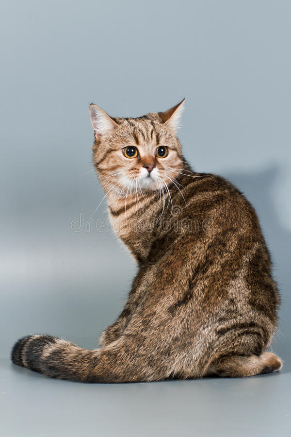 Download British cat stock image. Image of comfort, tabby, felinology - 17687271