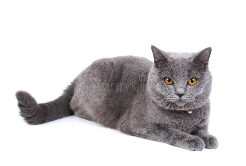 Download British cat stock photo. Image of isolated, looking, blue - 19883392