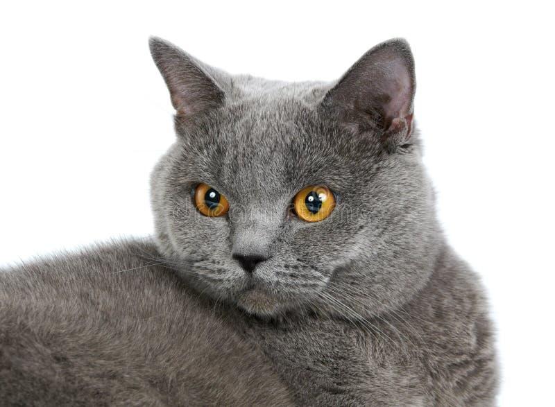 Download British Cat Stock Photos - Image: 19883423