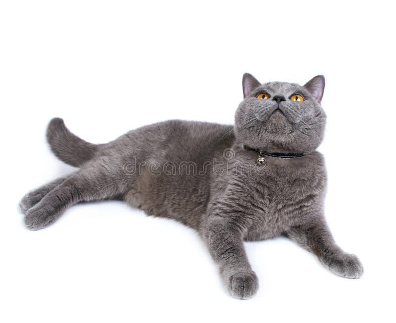 Download British Cat Royalty Free Stock Images - Image: 19883429