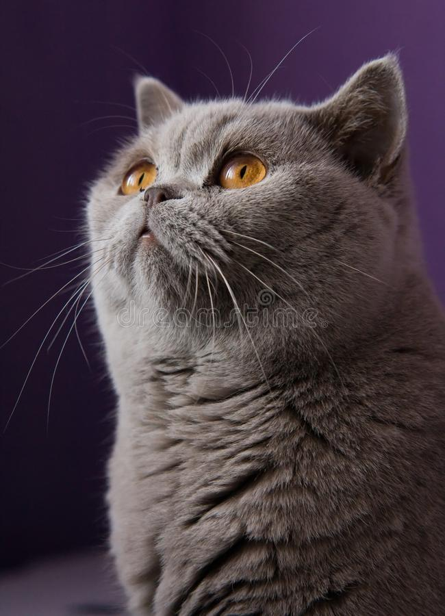 Download British cat stock photo. Image of gray, cute, soft, curious - 21438704