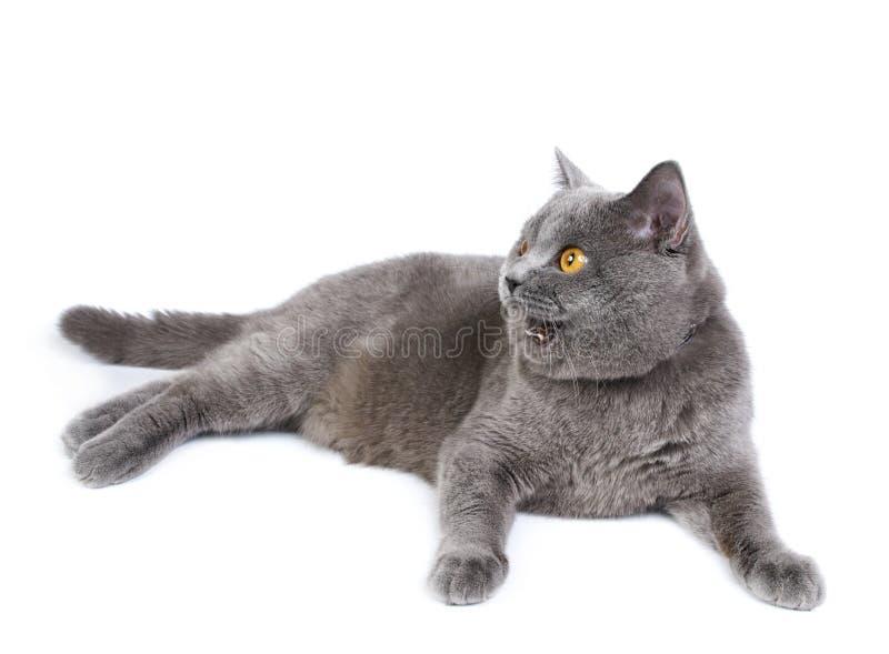 Download British cat stock image. Image of background, british - 21807389