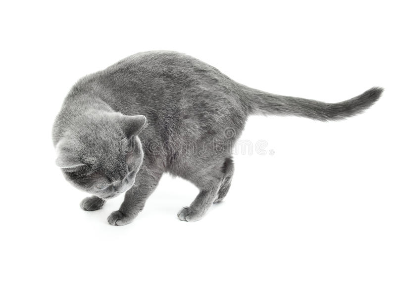 Download The British cat stock photo. Image of love, cute, pedigree - 22294148