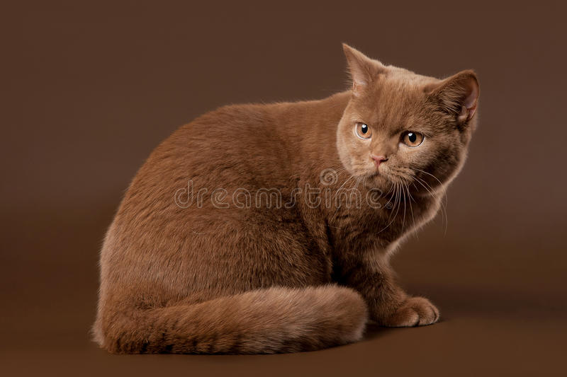 Download British cat stock photo. Image of color, light, cattery - 23581572