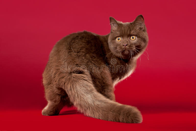 British Cat Royalty Free Stock Photos