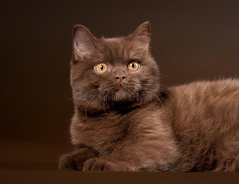 Download British Cat Royalty Free Stock Image - Image: 23861516