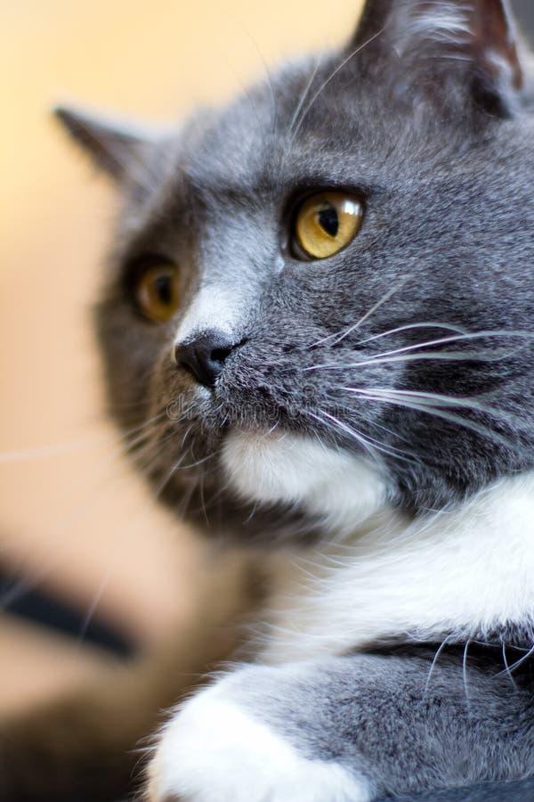 Download British cat stock photo. Image of rock, white, chin, british - 24201400
