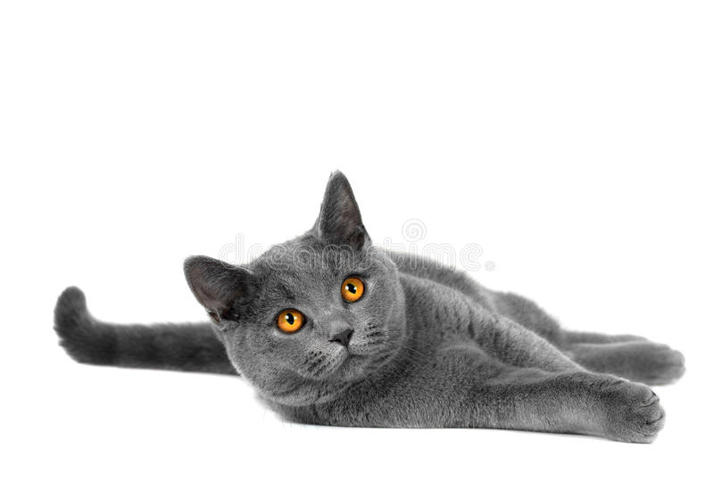 British cat. Beautiful domestic gray or blue British short hair cat with yellow eyes on a white background royalty free stock images