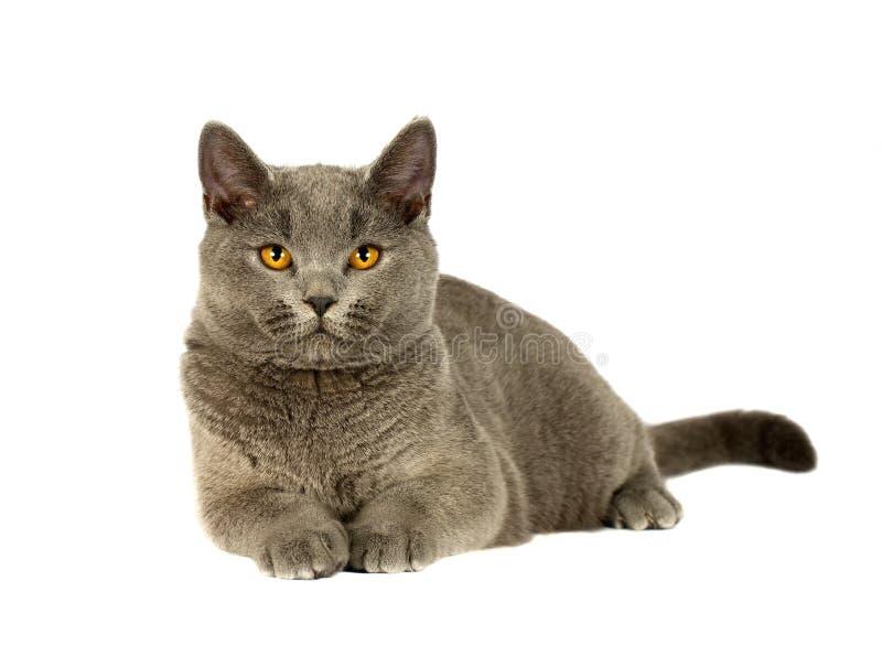 Download British cat stock image. Image of kitten, domestic, attentive - 28841497