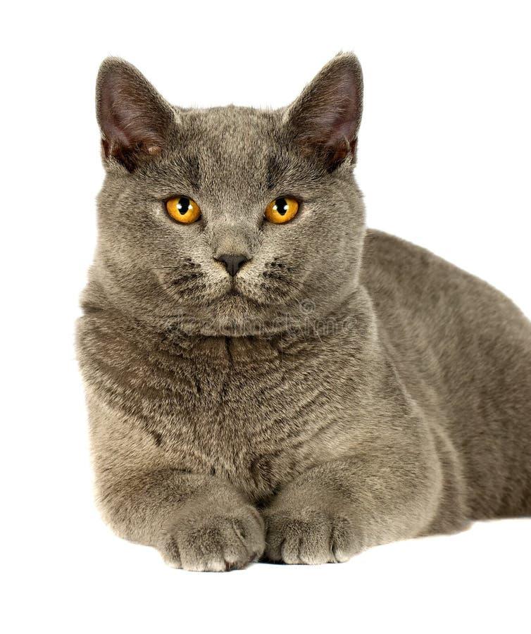 Download British cat stock image. Image of kitty, british, sitting - 28841501