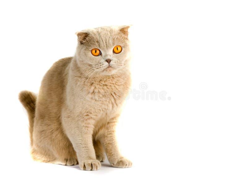 Download British cat stock image. Image of puss, eyes, animal, purr - 7215563