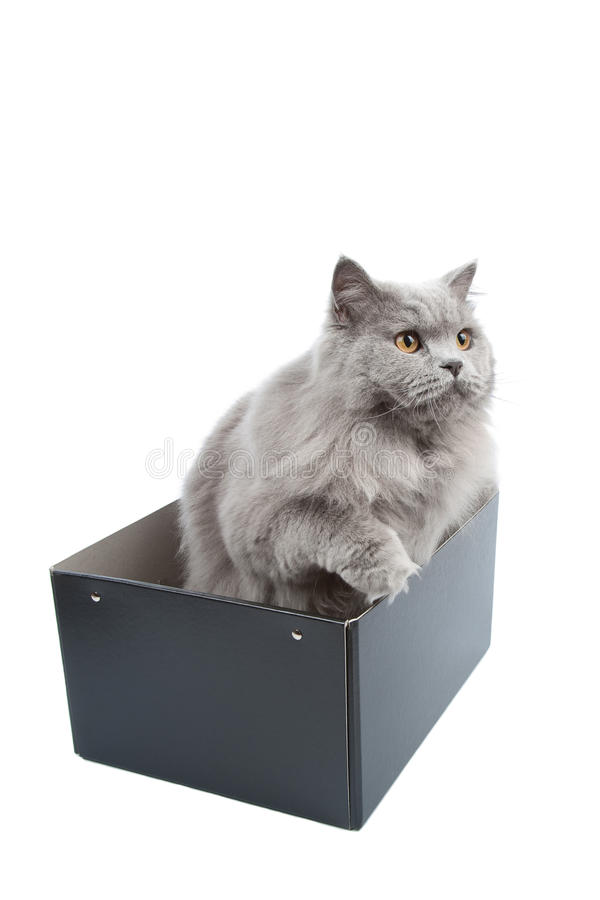 British Cat In Box Isolated Stock Images