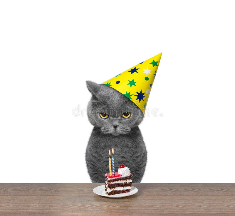 British cat celebrating birthday with piece of cake. Cat celebrating birthday with piece of cake -- isolated on white background royalty free stock images