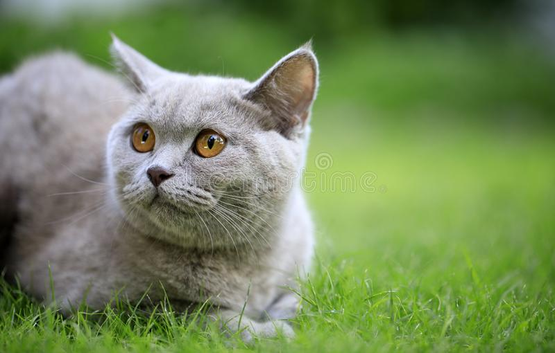 British Cat On The Grass. Beautiful British Cat On The Green Grass and looking away stock photography