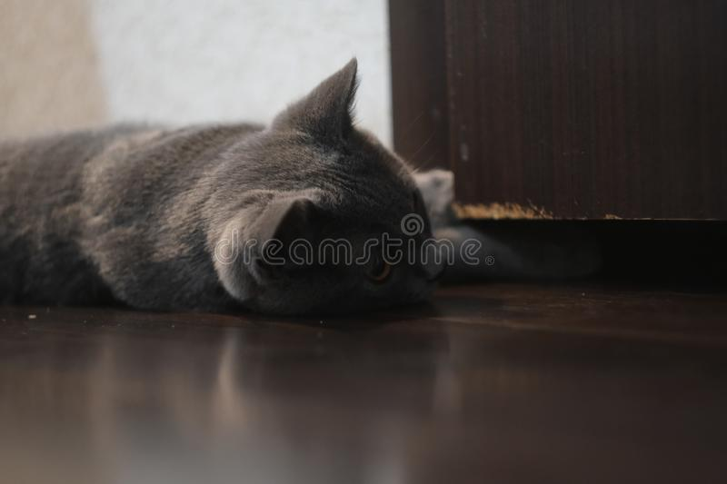 British cat in gray color lying down on floor. Scottish Fold mixed with British Shorthair cat in gray color lying down on floor, adorable, amber, animal stock images