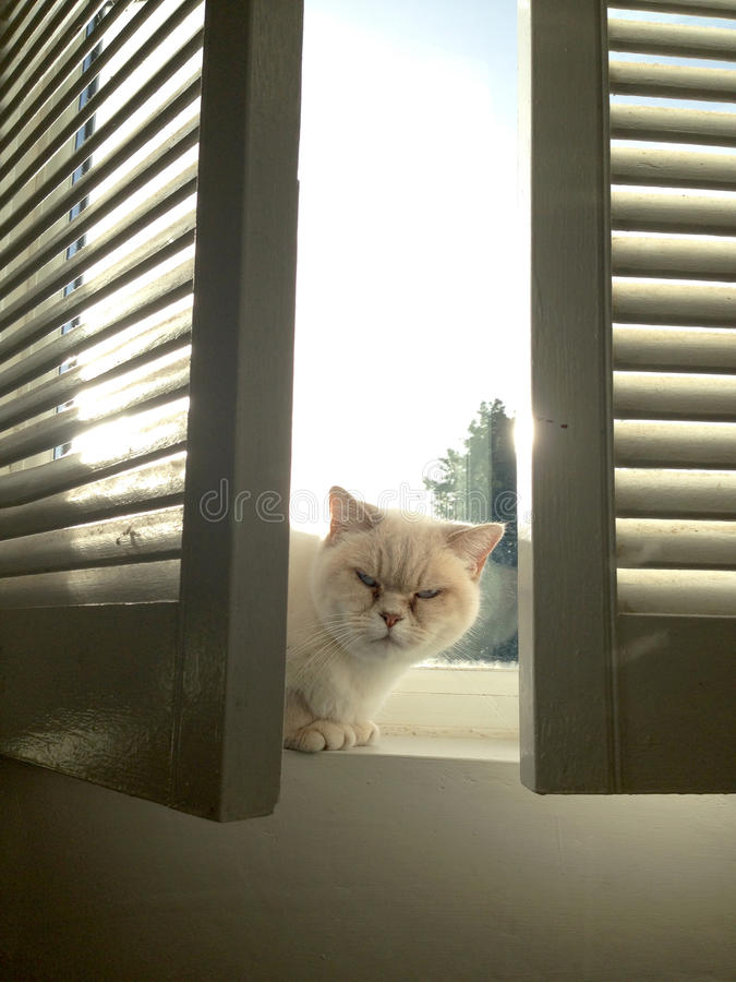 British cat on a London windowsill stock photos