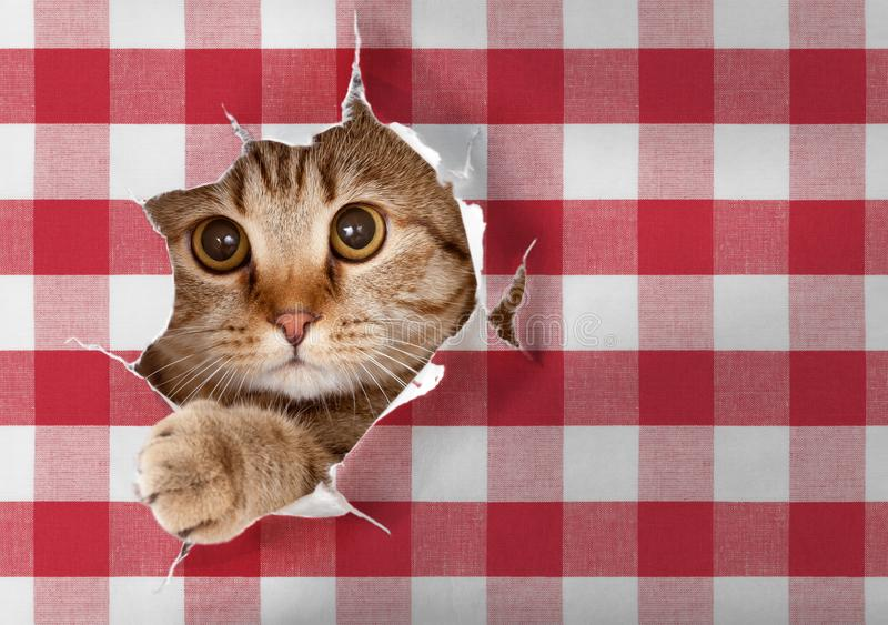 Download British Cat Looking Through Hole In Paper Picnic Tablecloth Stock Photo - Image of mature, pretty: 114863976