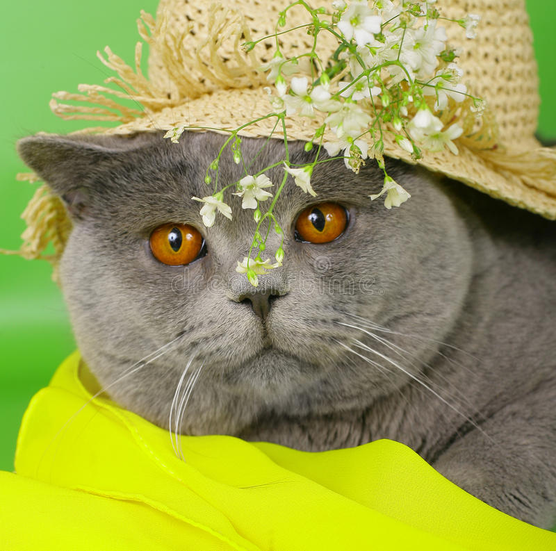British Cat In A Straw Hat Royalty Free Stock Photography