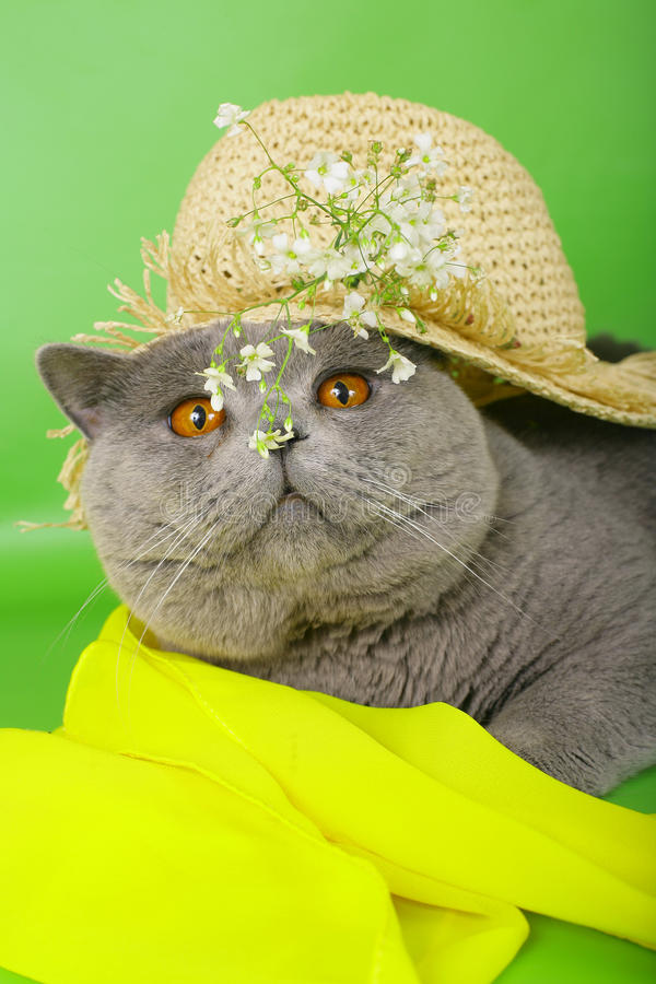 Download British Cat In A Straw Hat Stock Images - Image: 21648834
