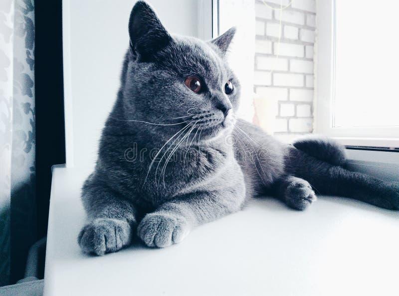 British cat on a windowsill. Beautiful british cat resting on the windowssill royalty free stock image