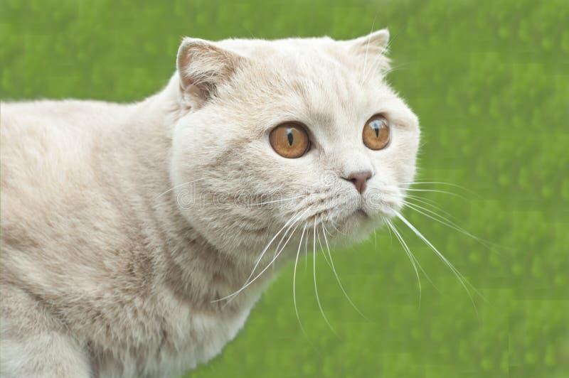 Download British fold cat stock image. Image of kitten, bowl, apartment - 14619491